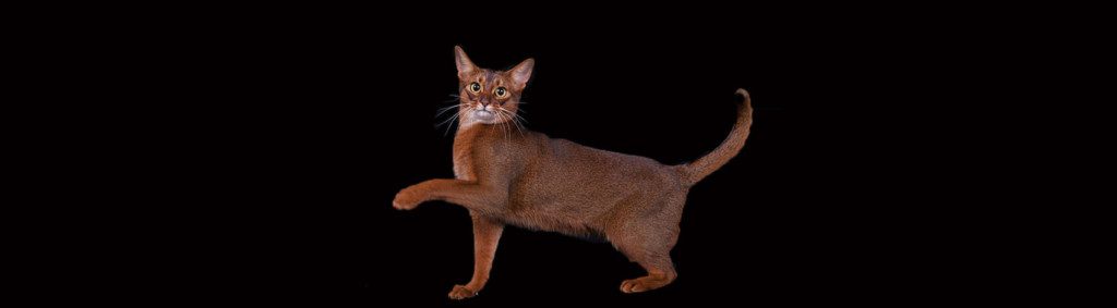 Abyssinian Cat Price Canada