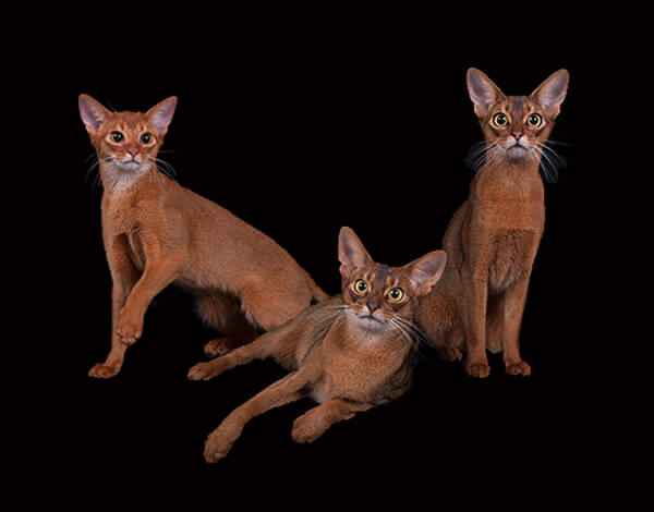 Red and Ruddy Abyssinian Cats from PureAbby Abyssinians